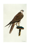 Portrait of a Female Saker Falcon, 1988 Giclee Print by Mary Clare Critchley-Salmonson