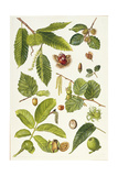 Walnut and Other Nut-Bearing Trees Lámina giclée por Elizabeth Rice