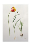 Parrot Tulip, 1995 Giclee Print by Iona Hordern
