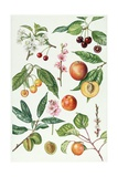 Cherries and Other Fruit-Bearing Trees Giclee Print by Elizabeth Rice
