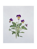 Viola Tricolor, 1999 Giclee Print by Ruth Hall