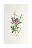 Marbled White Butterfly on Clover Giclee Print by Elizabeth Rice