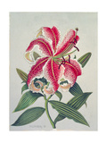 Botanical Lily, 1996 Giclee Print by Lillian Delevoryas
