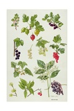 Currants and Berries Giclee Print by Elizabeth Rice