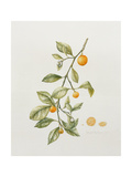 Ornamental Orange, 1995 Giclee Print by Iona Hordern
