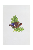 Purple Emperor Butterfly on Oak Leaves Giclee Print by Elizabeth Rice