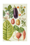 Potato, Aubergine, Tobacco and Winter Cherry Giclee Print by Elizabeth Rice