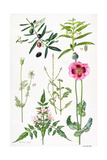Opium Poppy and Other Plants Giclee Print by Elizabeth Rice