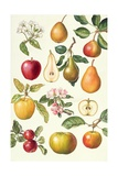 Apples and Pears Giclee Print by Elizabeth Rice