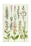 Rosemary and Other Herbs Giclee Print by Elizabeth Rice