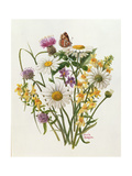 Knapweed, Ox-Eye Daisy and Toad Flax Giclee Print by Ursula Hodgson