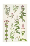 Thyme and Other Herbs Giclee Print by Elizabeth Rice