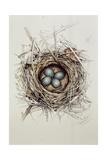 Turdus Merula (Blackbird), 1999 Giclee Print by Sandra Lawrence