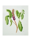 Phytolacca Giclee Print by Peggy Wyatt