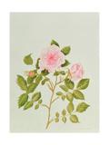 Rosa Var: Gertrude Jekyll Giclee Print by Peggy Wyatt