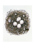 Accipiter Gentilis (Goshawk), 2000 Giclee Print by Sandra Lawrence