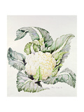 Cauliflower Study, 1993 Giclee Print by Alison Cooper