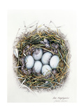 Anas Platyrhynchos (Mallard), 2000 Giclee Print by Sandra Lawrence