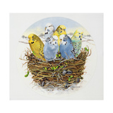 Budgerigars in a Nest, 1995 Giclee Print by E.B. Watts