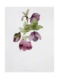Helleborus Atrorubens Giclee Print by Sarah Creswell