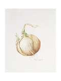 Onion Study, 1993 Giclee Print by Alison Cooper