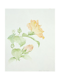 Hibiscus Rosa-Sinensis Giclee Print by Sarah Creswell