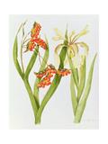 Iris Foetidissima Giclee Print by Peggy Wyatt