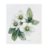 Christmas Rose Giclee Print by Nell Hill