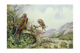 Pair of Red Kites in an Oak Tree Giclee Print by Carl Donner
