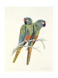 Illiger's Macaw, 1987 Giclee Print by Mary Clare Critchley-Salmonson