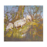 Sheep Up the Bank, North Wales Giclee Print by Diana Armfield