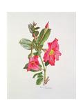 Passiflora Princess Eugenia, C.1980 Giclee Print by Brenda Moore