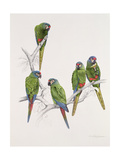 Illiger's Macaw Group, 1987 Giclee Print by Mary Clare Critchley-Salmonson