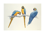 Blue and Yellow Macaws Giclee Print by Mary Clare Critchley-Salmonson