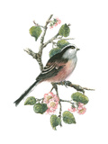 Long Tailed Tit and Cherry Blossom Giclee Print by Nell Hill