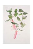Lapageria Rosea, C.1986 Giclee Print by Brenda Moore