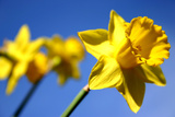 Daffodil Line Photographic Print by Sarah O'Toole