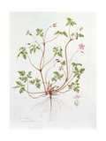 Herb Robert Giclee Print by Diana Everett