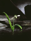 Snowdrop / Slate, 1995 Photographic Print by Norman Hollands