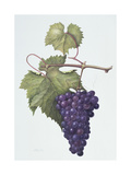 Grapes, 1994 Giclee Print by Margaret Ann Eden