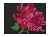 Paeonia 1 Giclee Print by Deborah Barton