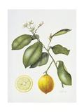 Citrus Bergamot, 1995 Giclee Print by Margaret Ann Eden