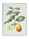 Citrus Limon, 1995 Giclee Print by Margaret Ann Eden