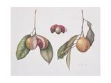 Nutmeg (Myristica Fragrans) 2004 Giclee Print by Margaret Ann Eden