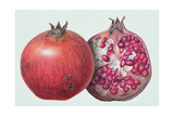 Pomegranate, 1995 Giclee Print by Margaret Ann Eden
