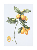 Kumquat, 1996 Giclee Print by Margaret Ann Eden