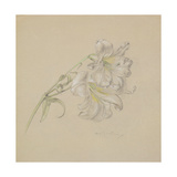 Lily Giclee Print by Albert Williams