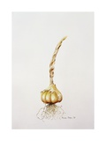 Onion, 1998 Giclee Print by Alison Cooper