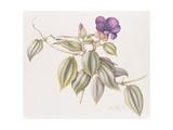 Glory Flower (Tibouchina Urvilleana) 1999 Giclee Print by Margaret Ann Eden