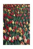 Tulips, 2010 Giclee Print by Cruz Jurado Traverso